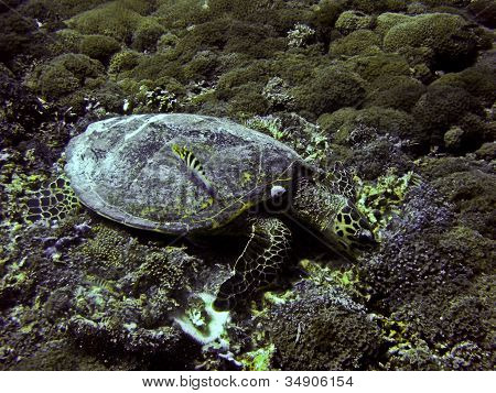 Green Sea Turtle Underwater  On Gili Trawangan, Indonesia