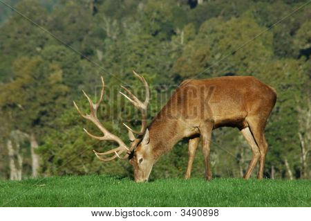 13-Point Stag
