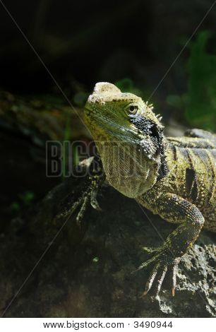 Rare New Zealand Tuatara Lizard