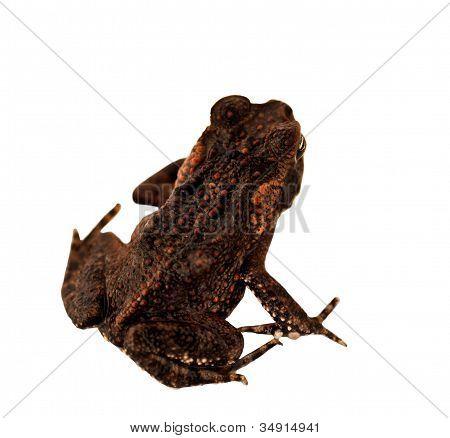 Juvenile Australian Cane Toad Declared Pest