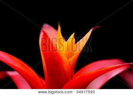 Extreme close up shot of Guzmania flower