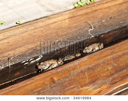 Cane Toads Nestled in Timber