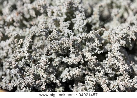 Lichen Background Of Stereocaulon Spp