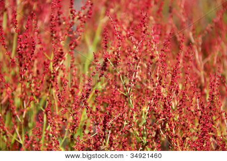Plant Background Of Rumex Acetosella