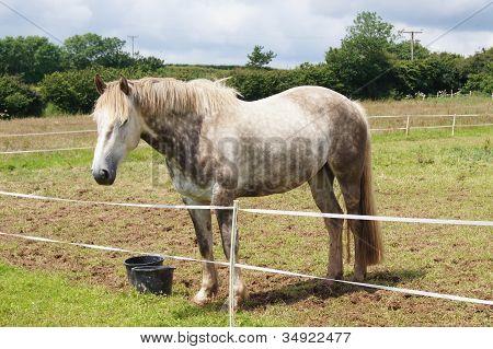 Cavalo de esboço irlandês