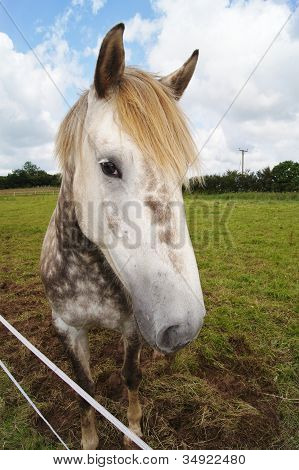 Irish Draught Pferd