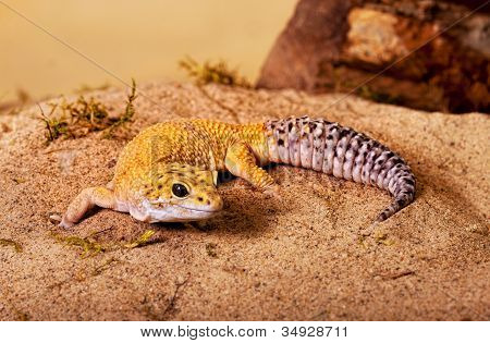 Yellow Gecko
