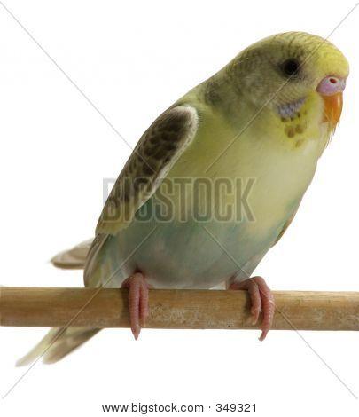 Bird - Budgie