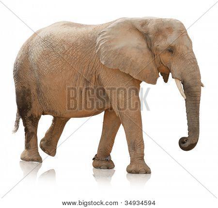 Portrait Of An Elephant Bull On White Background