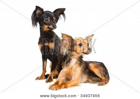Two Russian Toy Terriers Isolated On A White