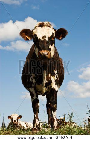 Posing Cow