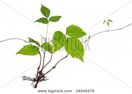 Three Leaves Poison Ivy Closeup Isolated on White Background