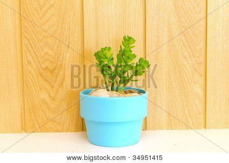 Coleção de Daisy árvore em vaso azul.