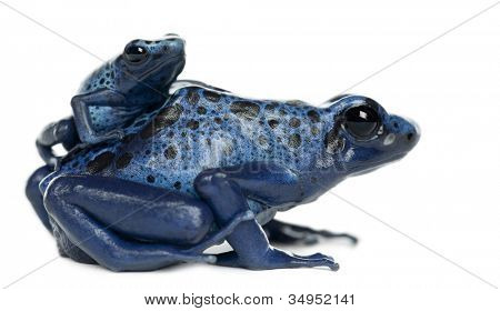 Female Blue and Black Poison Dart Frog with young, Dendrobates azureus, portrait against white background