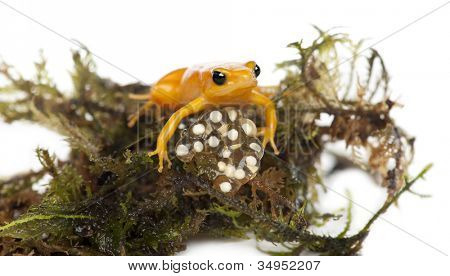 Golden Mantella protecting her eggs, Mantella aurantiaca, portrait against white background