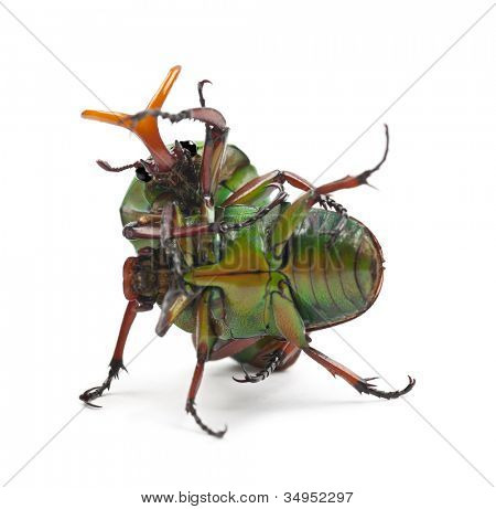 Fighting Flamboyant Flower Beetles or Striped Love Beetle, Eudicella gralli hubini, against white background