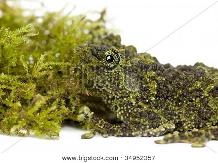 Mossy Frog next to Moss, Theloderma corticale, also known as a Vietnamese Mossy Frog, or Tonkin Bug-eyed Frog, close up against white background