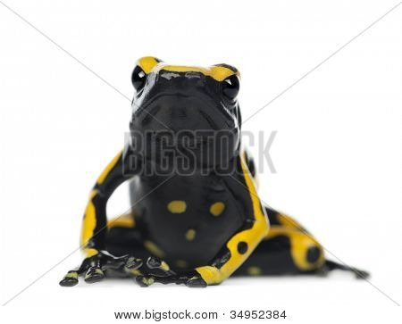 Yellow-Banded Poison Dart Frog, also known as a Yellow-Headed Poison Dart Frog and Bumblebee Poison Frog, Dendrobates leucomelas, portrait against white background