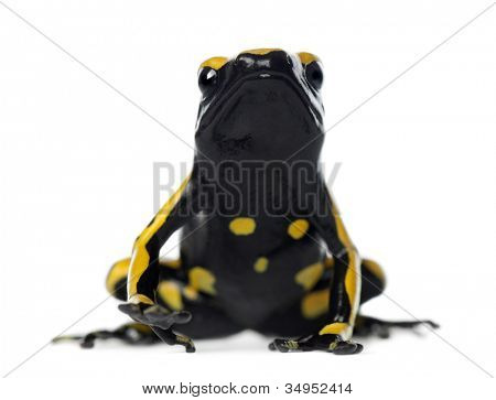 Yellow-Banded Poison Dart Frog, also known as a Yellow-Headed Poison Dart Frog and Bumblebee Poison Frog, Dendrobates leucomelas, against white background