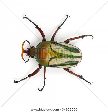 Männlich extravaganten Flower Beetle oder gestreiften Liebe Käfer, Eudicella Gralli Hubini gegen weiße backgro