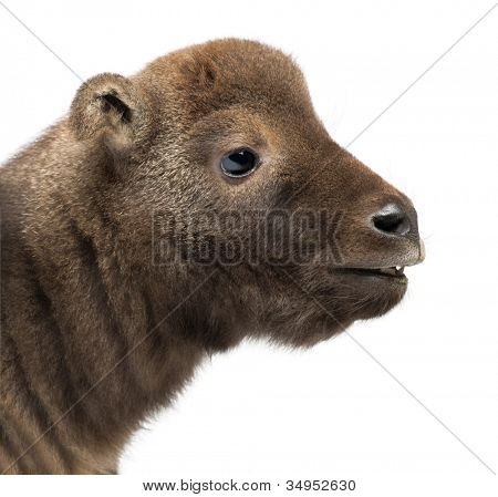 Mishmi Takin, Budorcas taxicolor taxicol, also called Cattle Chamois or Gnu Goat, 10 days old, against white background