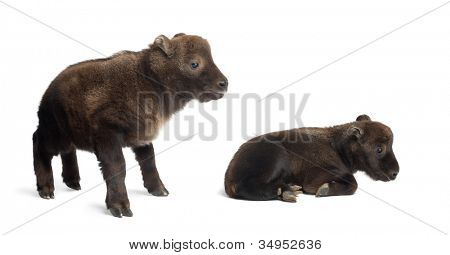 Mishmi Takins, Budorcas taxicolor taxicol, also called Cattle Chamois or Gnu Goat, 10 and 15 days old, standing against white background