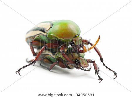 Paarung extravaganten Blume Käfer oder gestreiften Liebe Käfer, Eudicella Gralli Hubini, gegen weiße Rücken