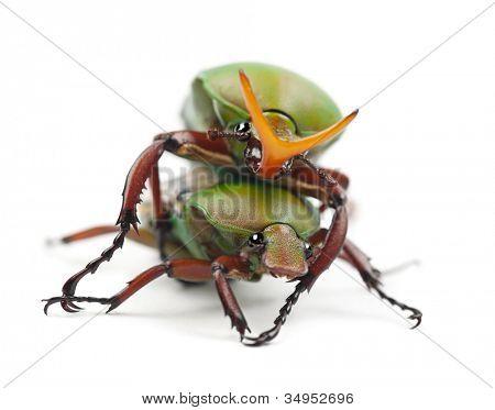 Paarung extravaganten Flower-Käfer oder gestreiften Liebe Käfer, Eudicella Gralli Hubini gegen weiße Rückseite