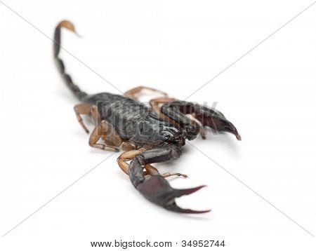 European Yellow-Tailed Scorpion, Euscorpius flavicaudis, against white background