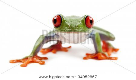 Red-eyed Treefrog, Agalychnis callidryas, portrait against white background
