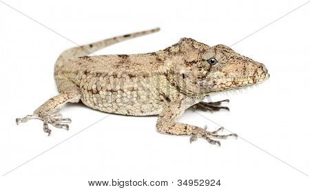 Oriente Bearded Anole or Anolis porcus, Chamaeleolis porcus, Polychrus is a genus of lizards, commonly called bush anoles, against white background
