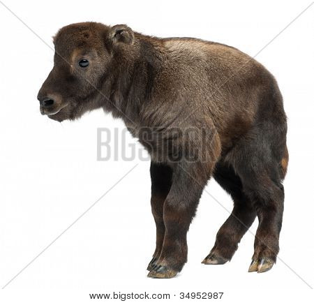 Mishmi Takin, Budorcas taxicolor taxicol, also called Cattle Chamois or Gnu Goat, 10 days old, standing against white background
