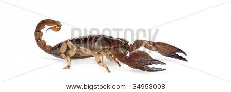 Shiny Burrowing Scorpion or Yellow legged Creeping Scorpion, Opistophthalmus glabrifrons, against white background