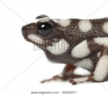 Mara?�±??n Poison Frog or Rana Venenosa, Ranitomeya mysteriosus, close up against white background