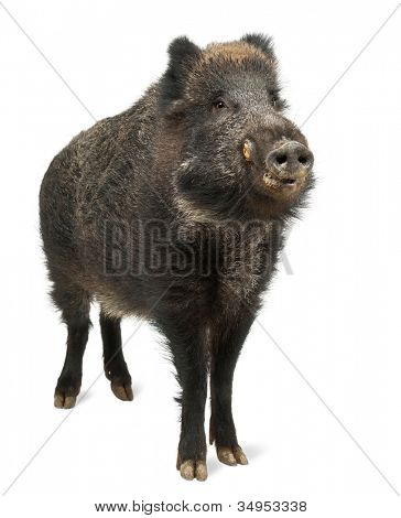 Wild boar, also wild pig, Sus scrofa, 15 years old, standing against white background