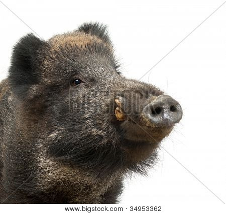 Wild boar, also wild pig, Sus scrofa, 15 years old, close up portrait against white background