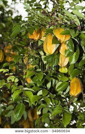 Karambola Or Star Fruit Tree