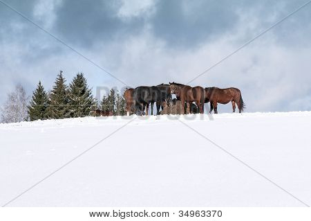 Horses With Hay In Winter