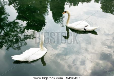 Two Swan Swim Together In A Pond
