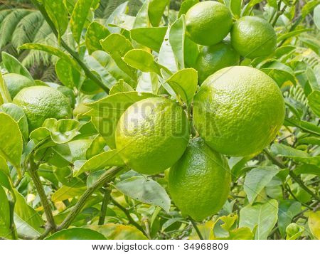 Closeup of still green lemon fruits on tree