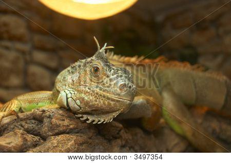 The Big Lizard In A Terrarium