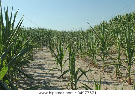 Corn suffering in draught