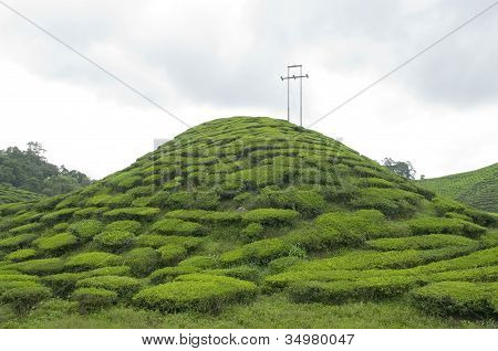Small Hill in a Tea Plantation