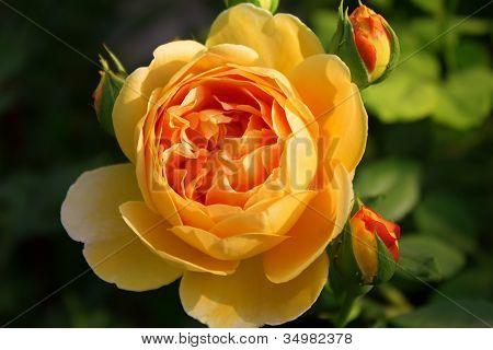 "Romantic Rose ""Graham Thomas"" In The Garden"