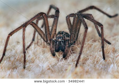 Male common house spider.