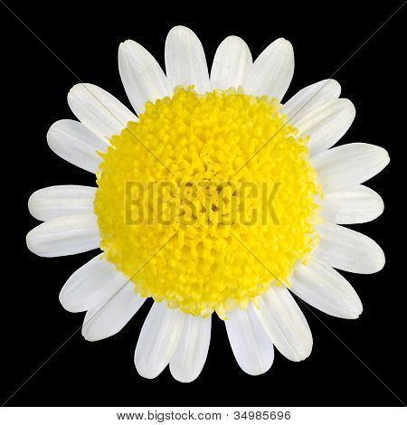 Yellow Flower With White Petals Isolated On Black