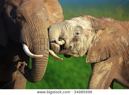 Elephants touching each other gently - Addo National Park
