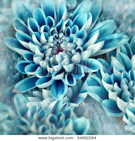 vibrant blue flowers zinnias photo illustration