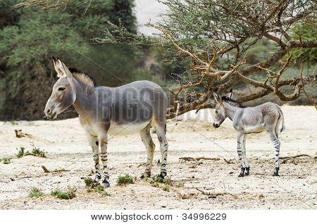 afrikanischer Wilder Esel (Equus Africanus) mit dem Baby im Naturschutzgebiet