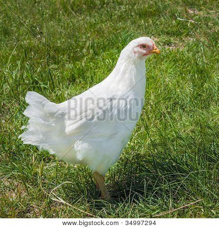 White Plymouth Rock Hen